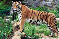 800pxpanthera_tigris_tigris_2